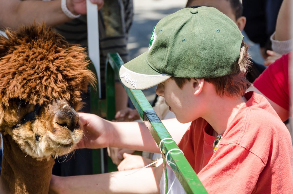 Boy Pets Alpaca at Maryland Sheep & Wool Festival