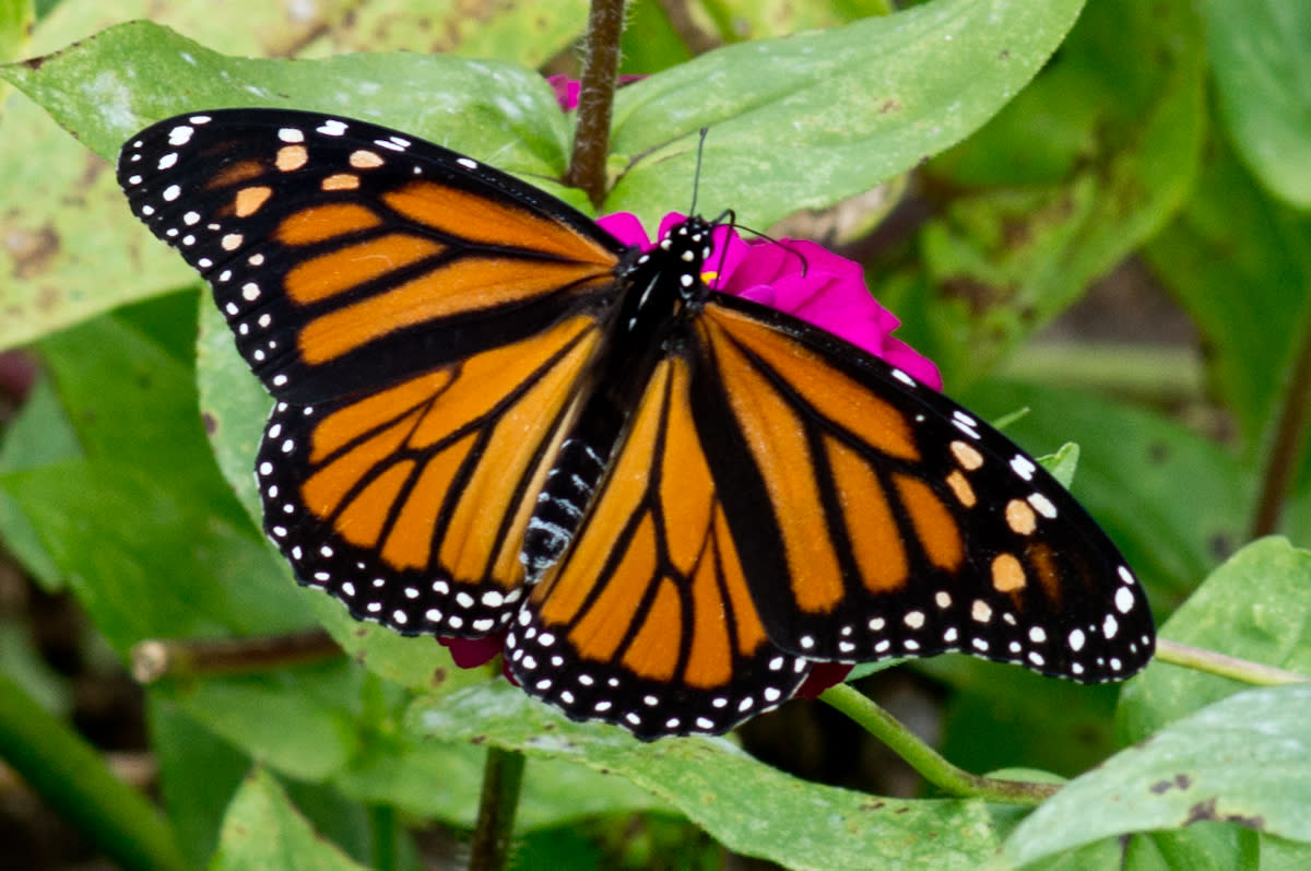 Morris Arboretum Presents a Discovery Series All About the Monarch Butterfly