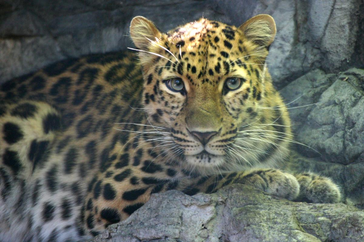 Amur leopards at Denver Zoo