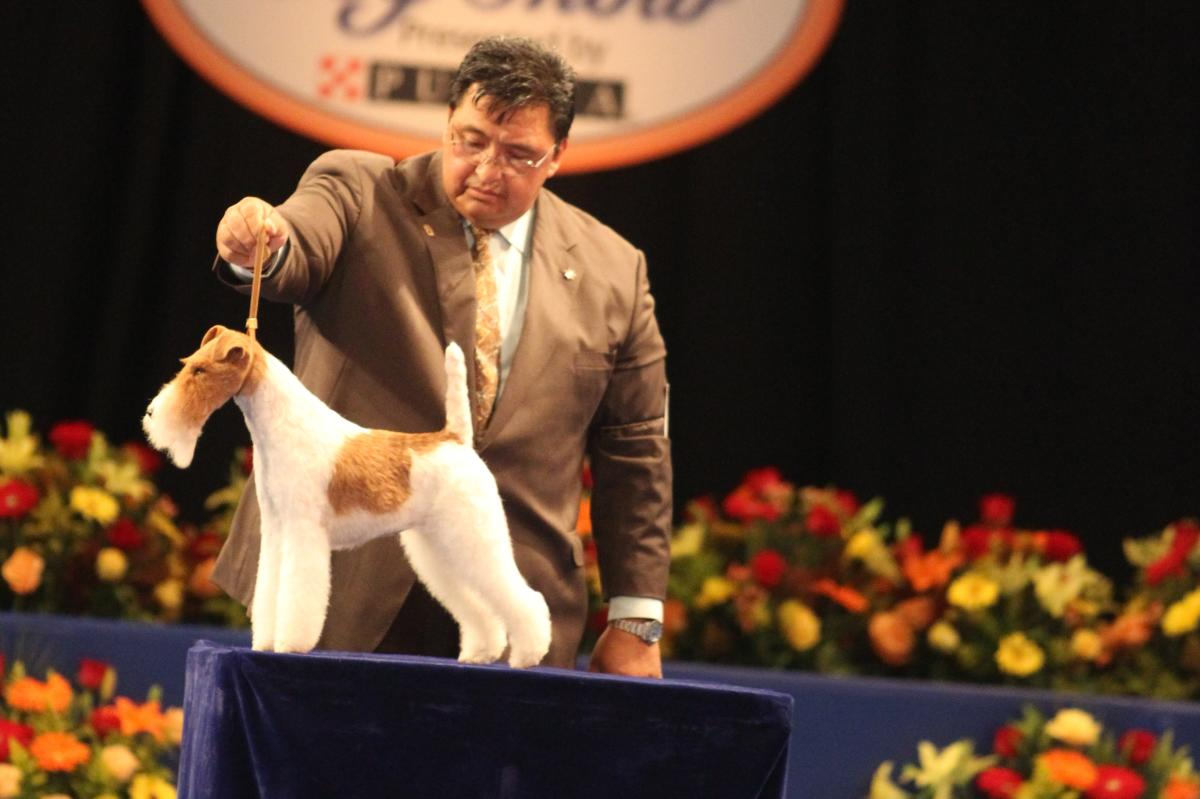 A judge inspects one of the contestants at the National Dog Show