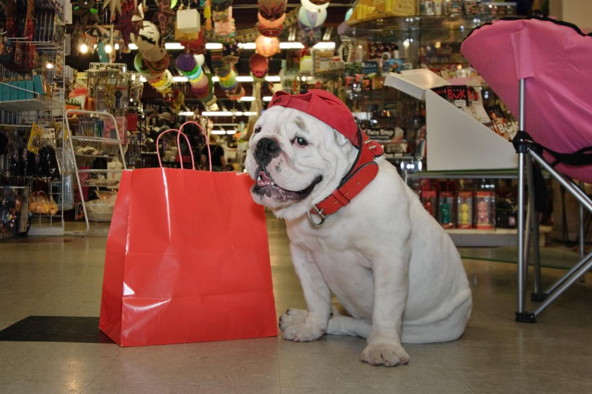 Bulldog shopping