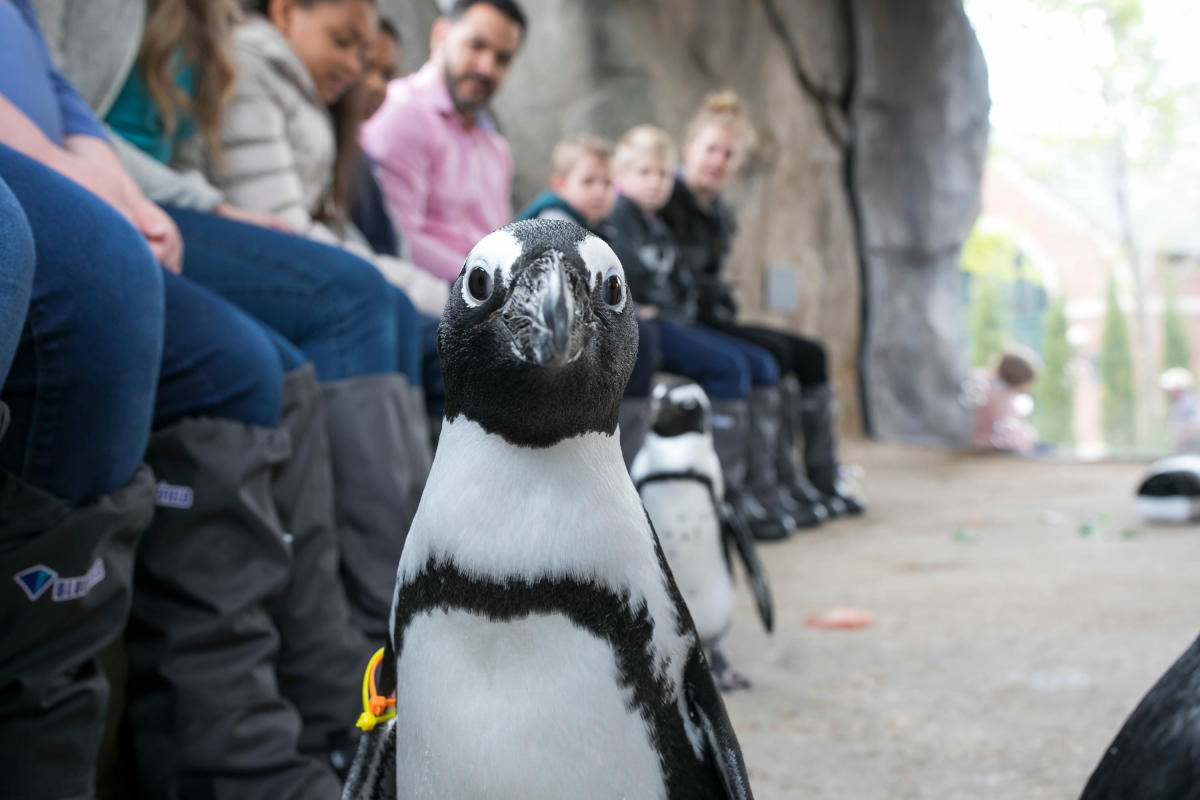 A Penguin at the Lincoln Park Zoo in Chicago
