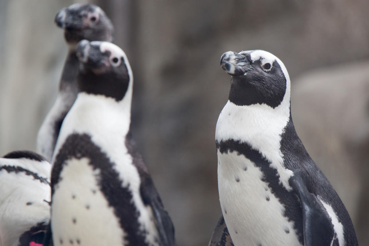 Penguins at the Lincoln Park Zoo Chicago