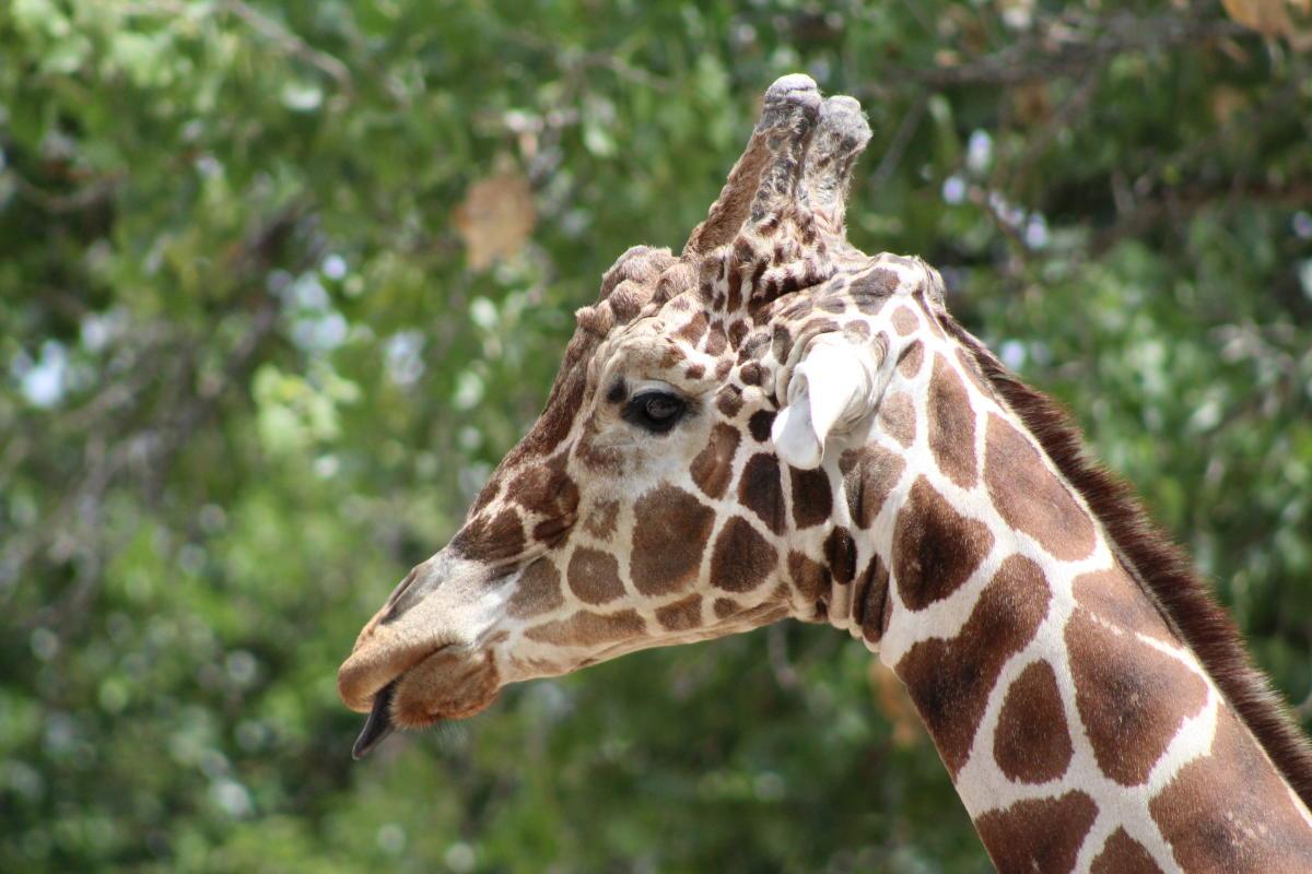 ABQ BioPark Giraffe