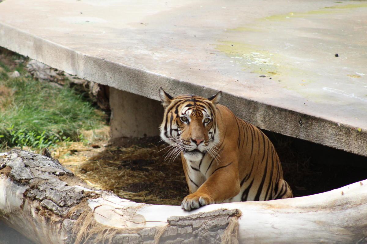 ABQ BioPark Tiger