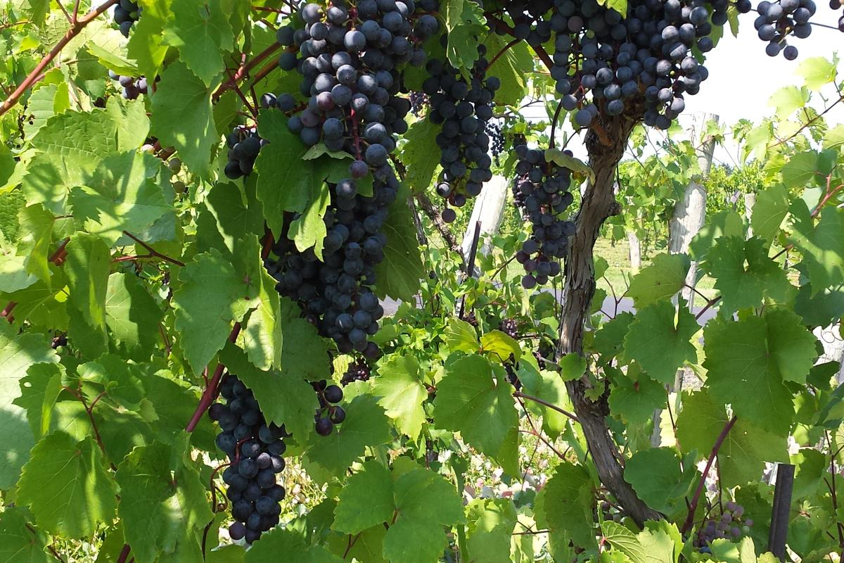 Grapes at Buckingham Valley Vineyards Winery