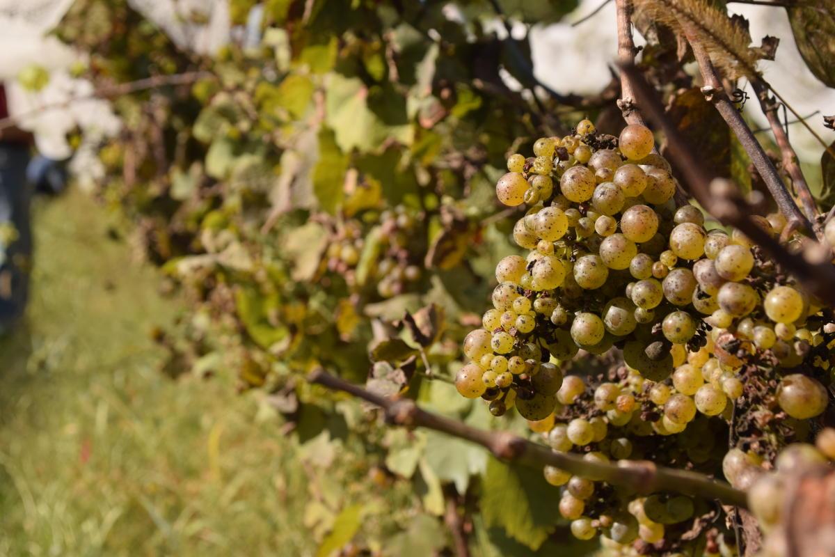 Grapes at Wycombe Vineyards