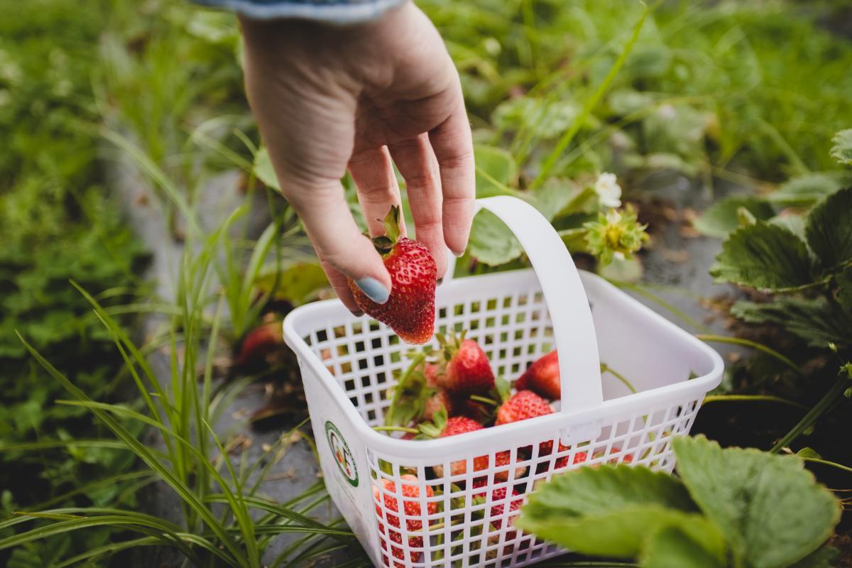 pungo strawberry