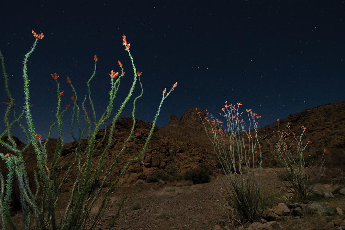Ocotillo Bloom James Gale