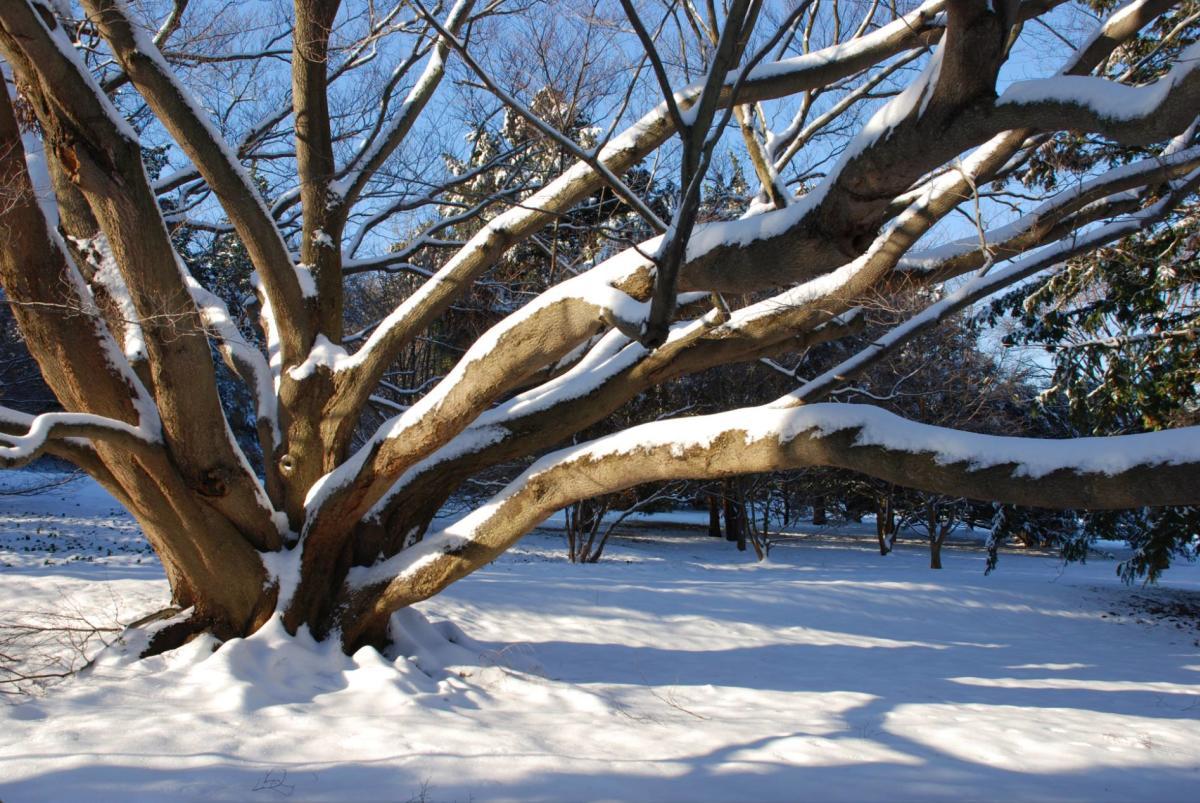 Morris Arboretum Snow