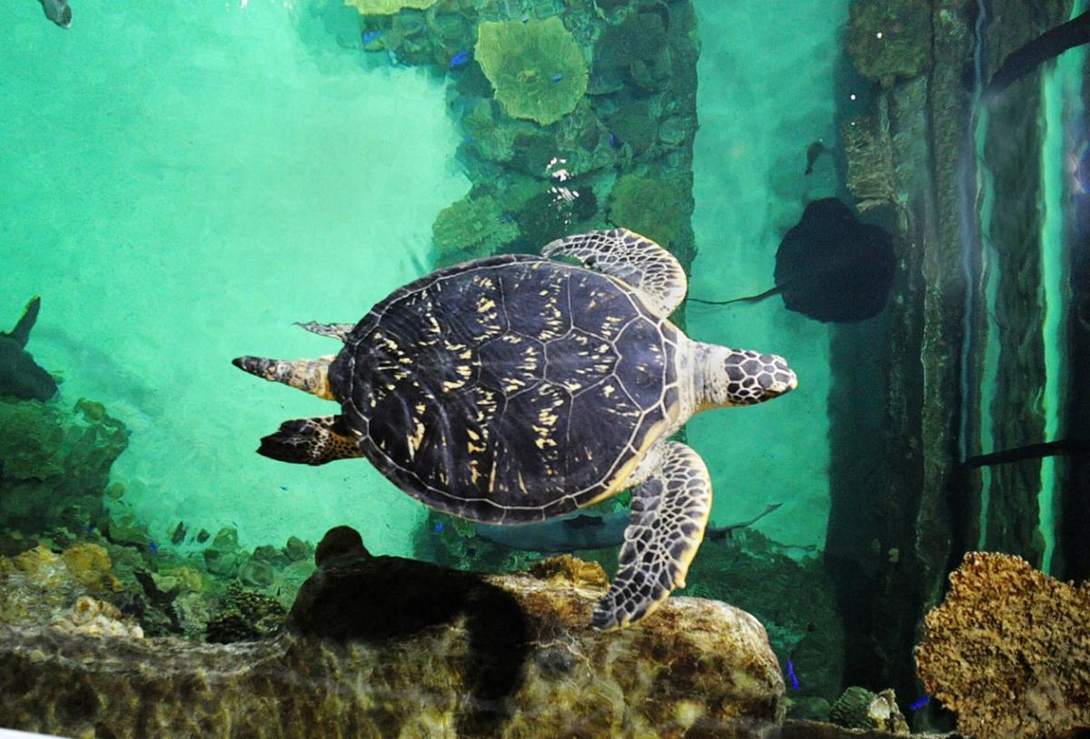 Sea Turtle at the Shark Reef Aquarium