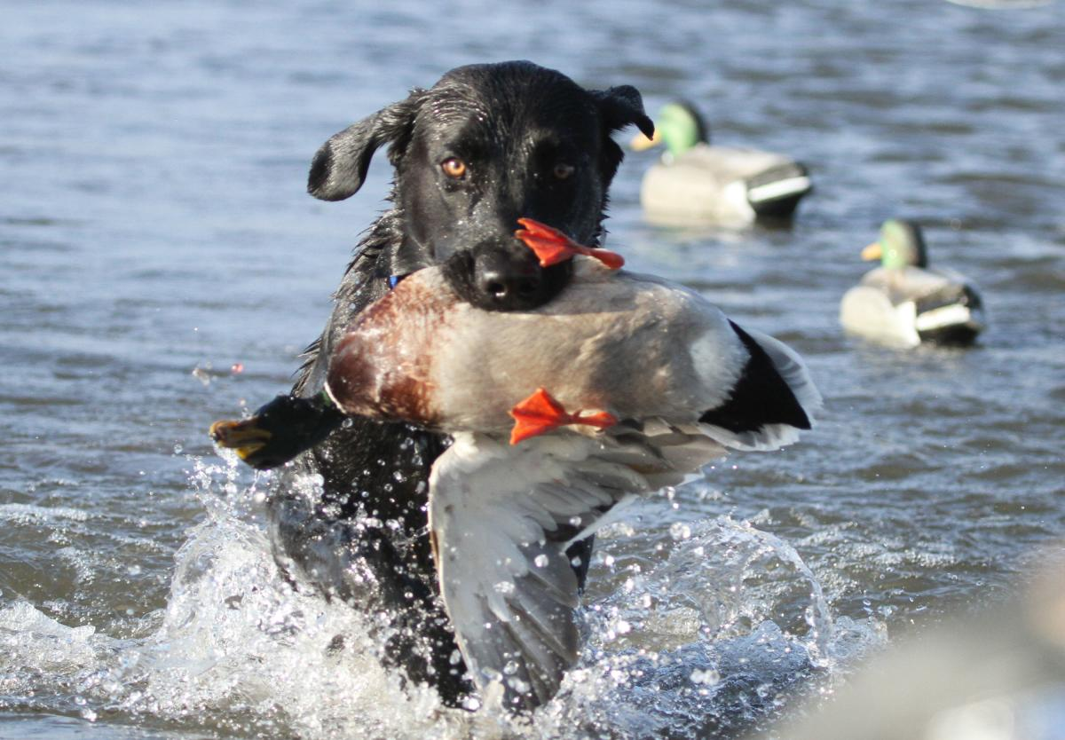Dog Retrieving Duck