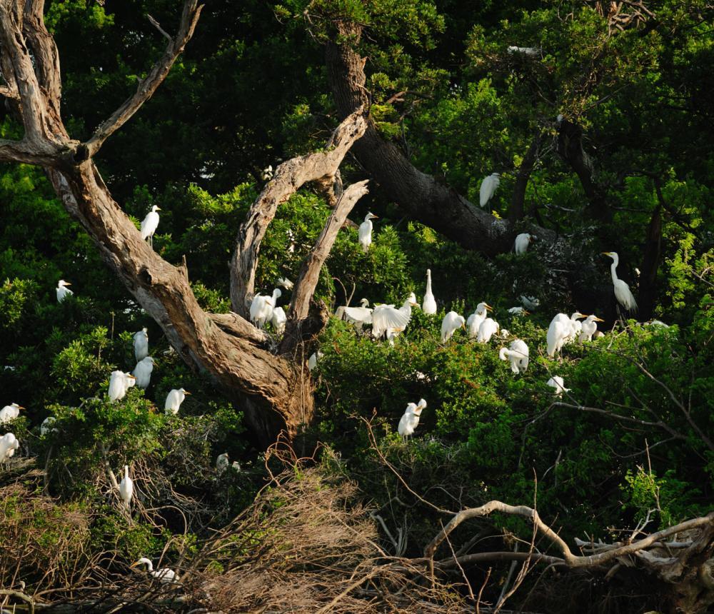 Monkey Island Rookery