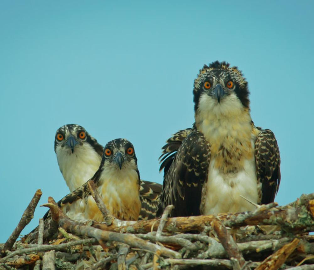 Juvenile Osprey - North Landing River