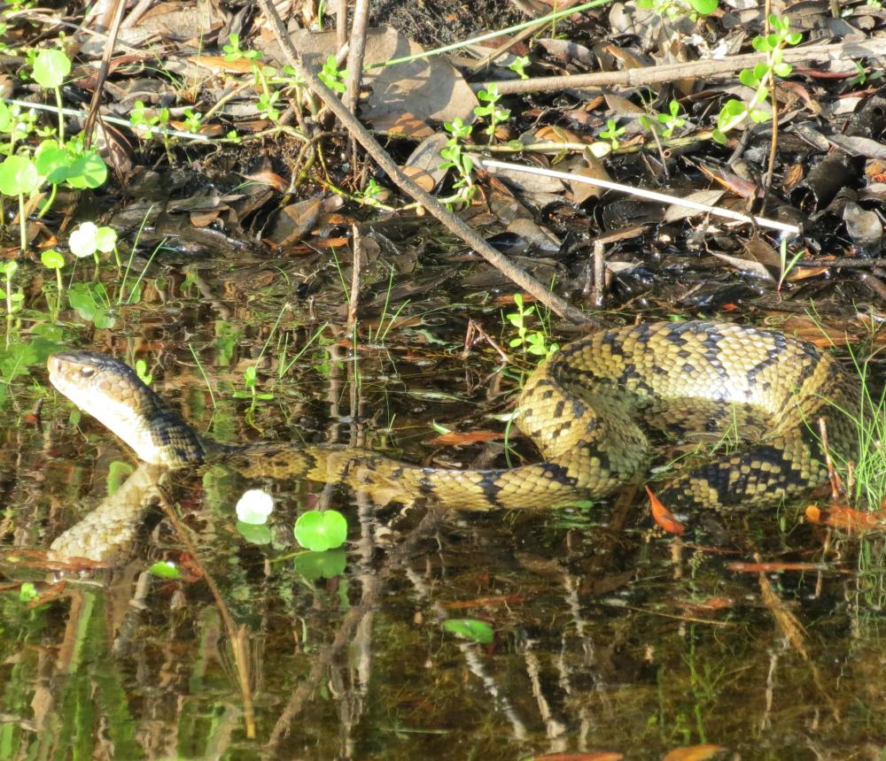 Cottonmouth (Eastern cottonmouth)