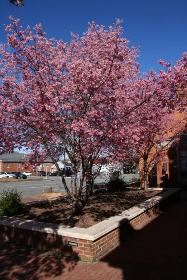 Cherry Trees on Franklin Street