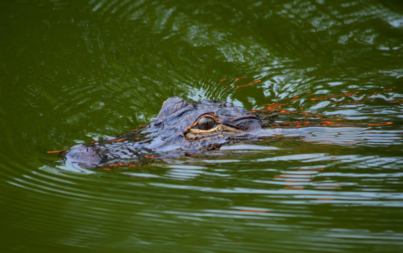 Lake Martin - Alligator