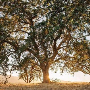 San Luis Obispo County hundred year old oak trees