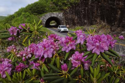 Blue Ridge Parkway Tunnel with Rhododendron