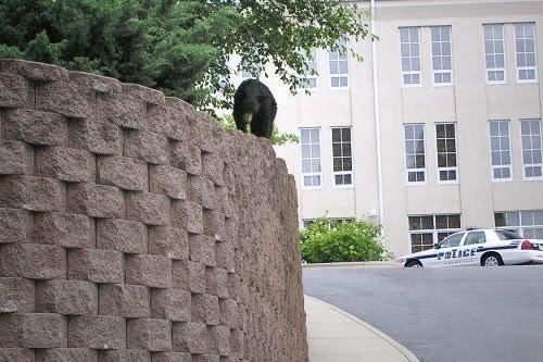 Bear in Downtown