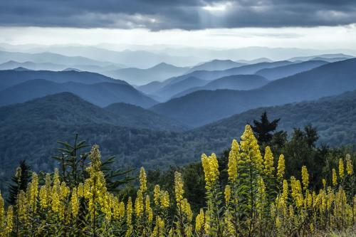 Goldenrod and Mountain Views Near the Blue Ridge Parkway
