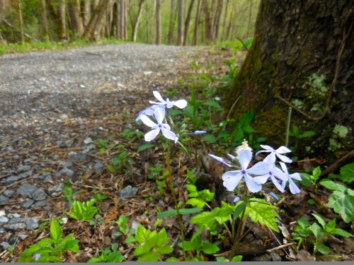 Wildflower on Oconaluftee River Trail
