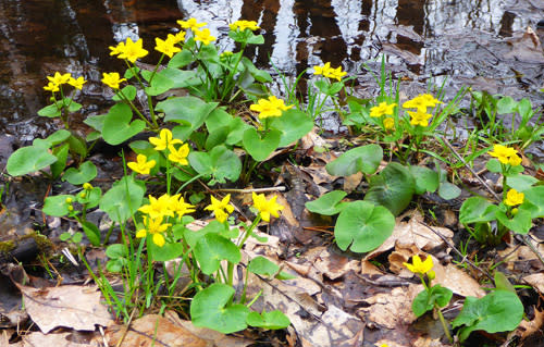 Marsh marigolds near Grand Rapids, Michigan