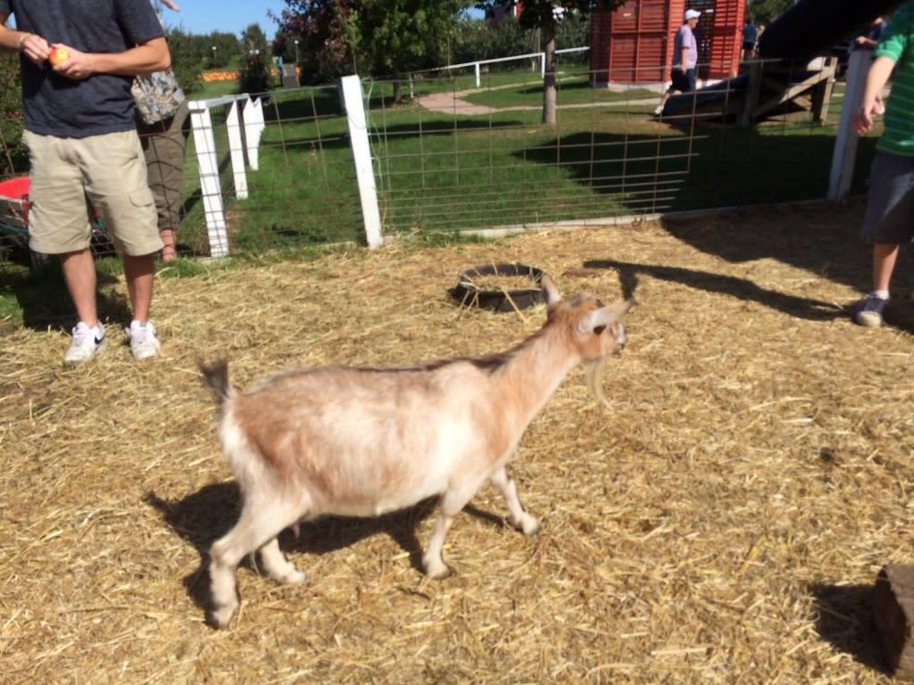 Goat at petting zoo in Grand Rapids. Michigan