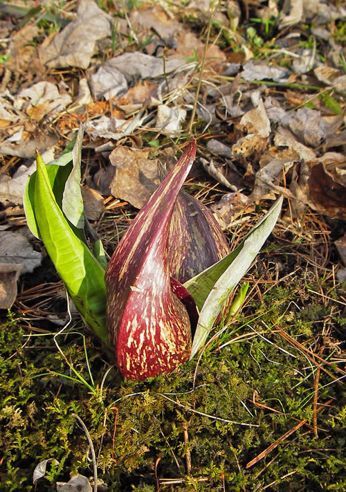Skunk cabbage in Grand Rapids, Michigan