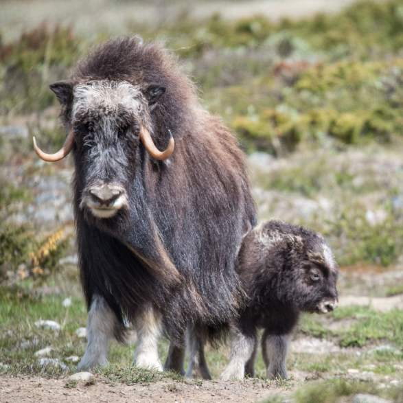 The musk-ox trail in Oppdal | Hiking | | Norway