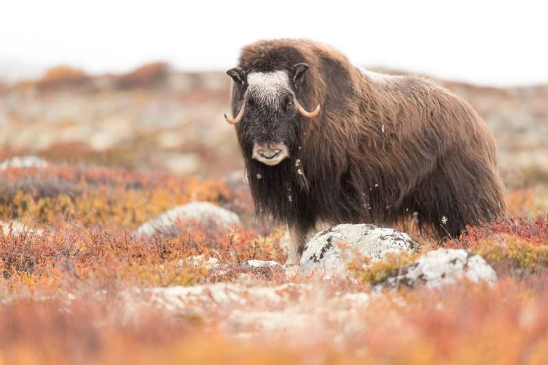 Musk Ox Safari Personal Tour
