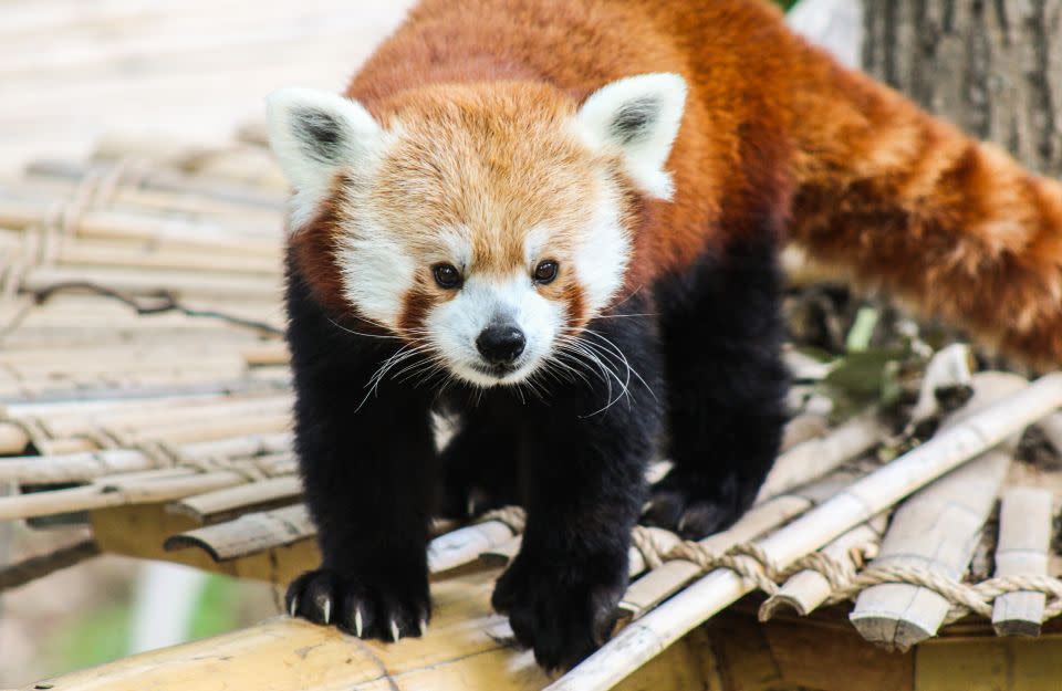 International Red Panda Day | Collective Community Event in Grand Rapids, MI