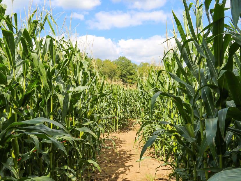 Giant Corn Maze