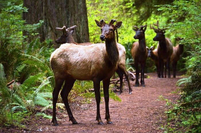 Redwood National and State Parks 5549P4Large-herds-of-Roosevelt-Elk-the-largest-in-North-America-roam-Redwood-National-and-state-parks-photo-by-Monika-Enachescu_00ec604a-5056-a36a-091b71bab1c15a79