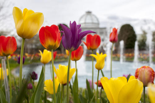 tulips and conservatory at lewis ginter botanical garden - Lewis Ginter Botanical Garden