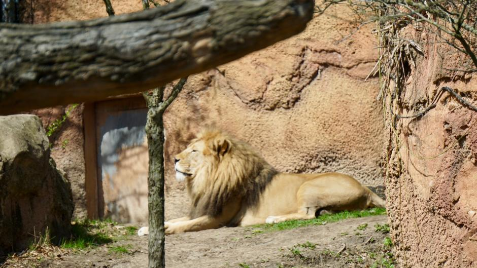 Lion basking in the sun at John Ball Zoo in Grand Rapids