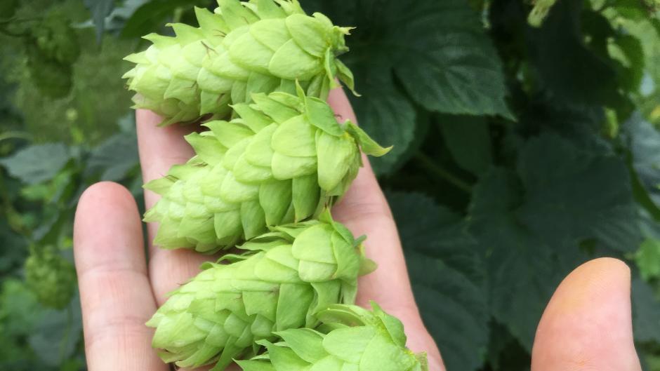 Hop cones courtesy of Hopyards of Kent.