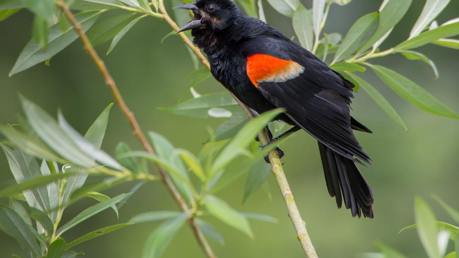 Red-winged Blackbird singing at Waterfront Park at Reeds Lake.