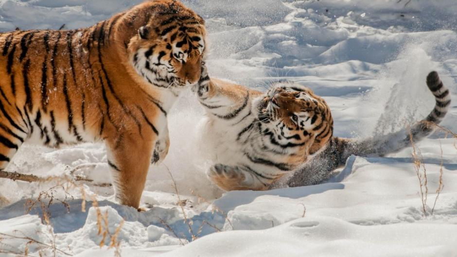 Kuzi and Yuri enjoy playing together in the snow.