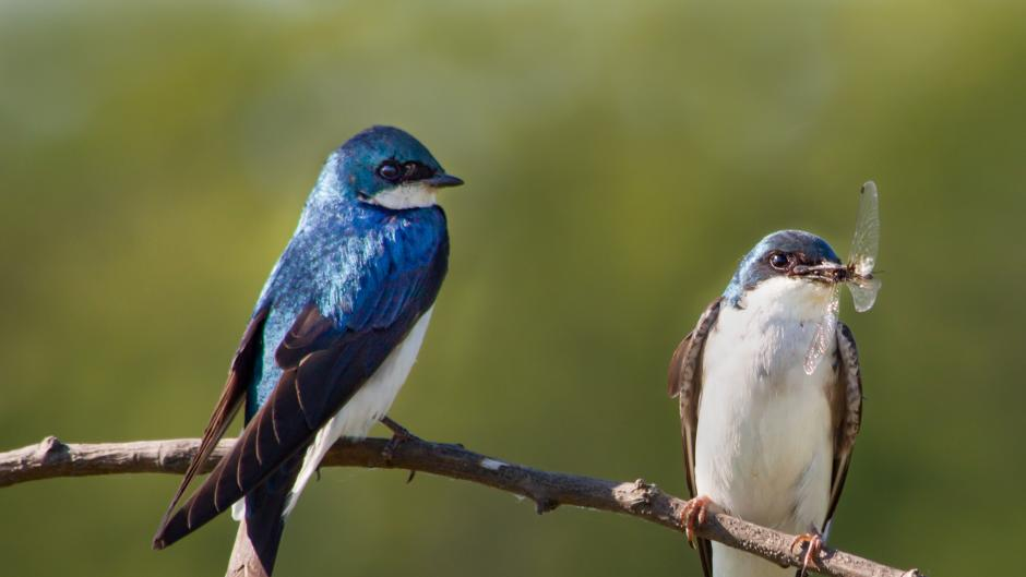 Tree Swallows perching on a branch at Millennium Park.