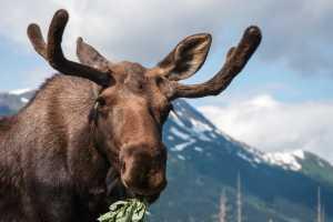Moose borwsing near the mountains