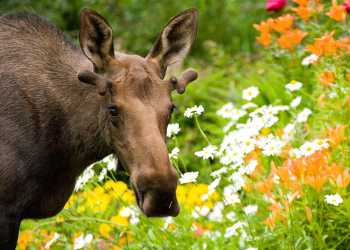 Moose wildlife viewing