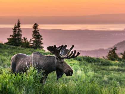 A moose grazes near the Glen Alps trailhead.