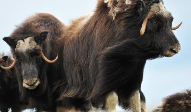 Musk oxen in Dovrefjell-Sunndalsfjella national park, Eastern Norway