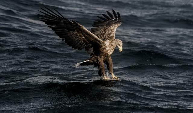En havørn flyr ned for å fange sitt bytte i havet i Henningsvær