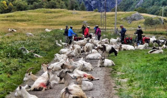 Een groep fietsers komen een kudde geiten tegen op de fietsroute Rallarvegen in Fjord-Noorwegen