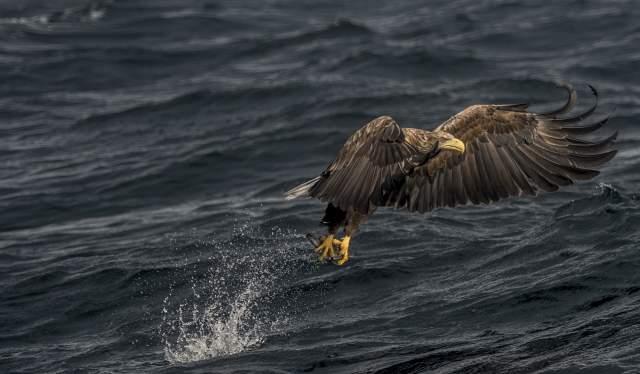 A sea eagle in Henningsvær in Lofoten, Northern Norway