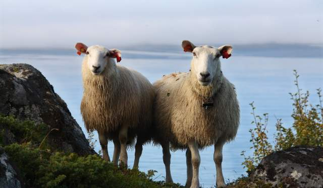 Two sheep in Lofoten, Northern Norway