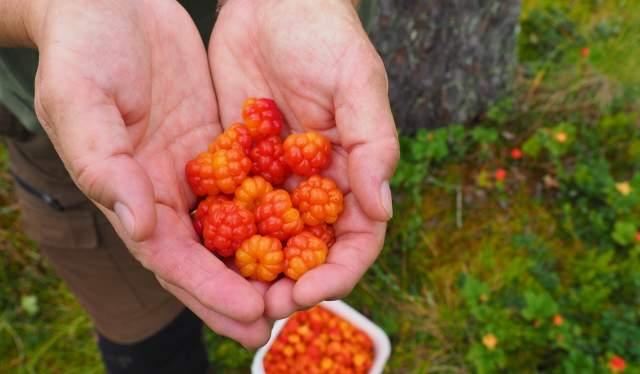 Multer funnet i skogen på Østlandet