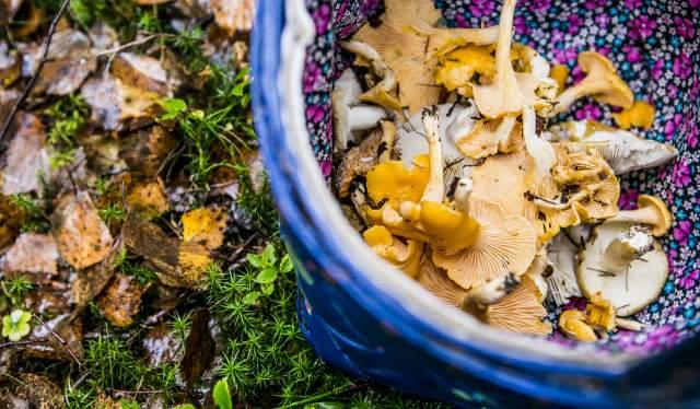En kurv med nyplukket sopp i skogen i Moss